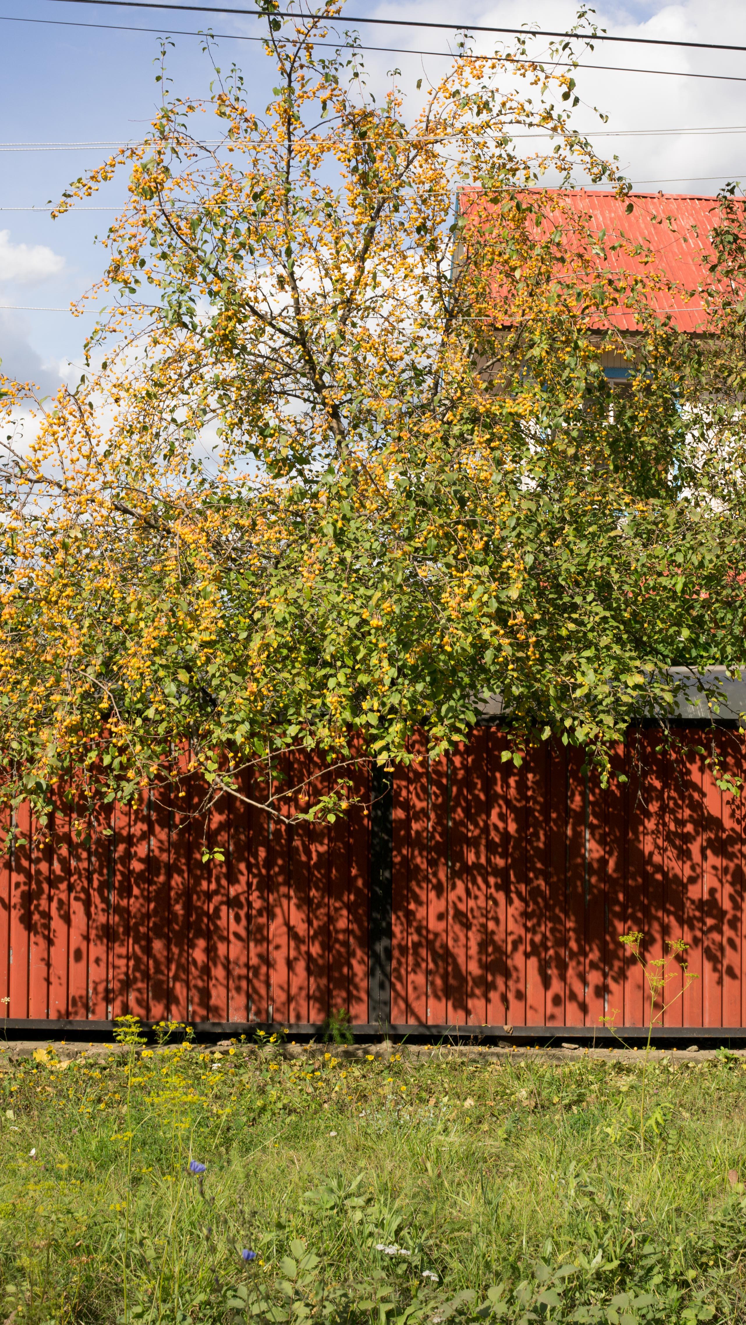 Фруктовое дерево в Зинино